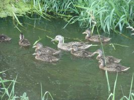 Mother duck and ducklings by Cyklopi