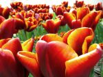 Tulip Field by inacom