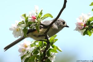Springtime Tufted Titmouse by natureguy