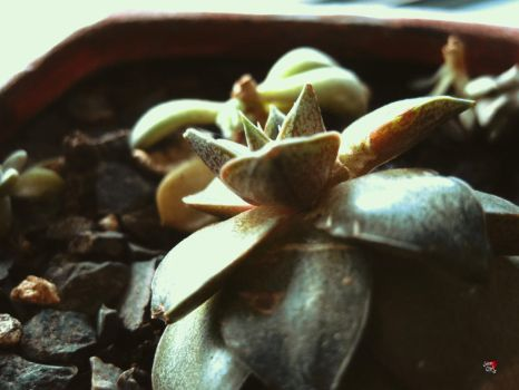 Succulent by jemgirl