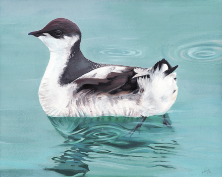 Marbled Murrelet by ZoeStanleyArts