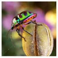 Shield bug (3) by kiew1