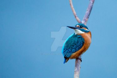 Kingfisher by Perseus67