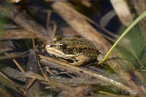 Columbian spotted frog3 by themanitou