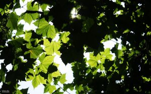 Leaves in Summer sunshine 01 by Buou