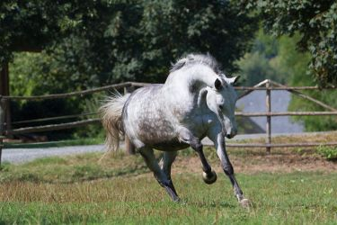 Beautiful Dappled Grey Mare on Paddock 48 by LuDa-Stock