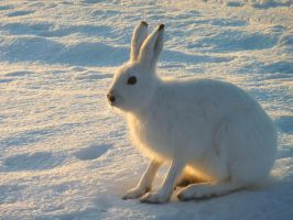 Lepus timidus III by nordfold