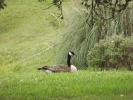 Canada's Goose by Deathbypuddle