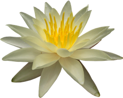 Waterlilly PNG by Thy-Darkest-Hour