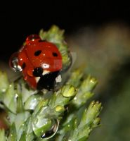 Raindrops and ladybird 2 by wildlife-snapper