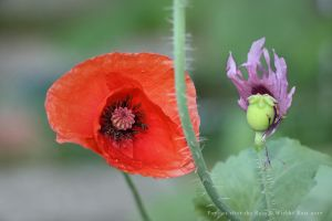 Red and Purple Poppy by wiebkerost