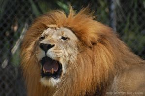 Roaring Lion by Focus-Fire