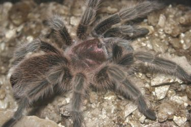 'Gizmo' my Tarantula by Clayofmyclay