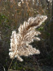 Grass Seed Feather by MarjorieB