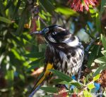 New Holland Honeyeater by Okavanga