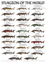 Sturgeon of the World Poster by kaufmanni