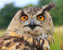 Eurasian Eagle Owl by NurturingNaturesGift