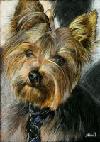 Yorkie - Yorkshire Terrier drawing. by SRussellart