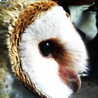 Barn Owl Face From Side by bagoestm
