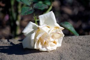 White Rose (Paint it Red) by ChrisNs