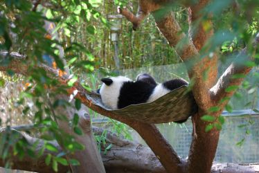 Baby Panda Nap Time by smsldoo
