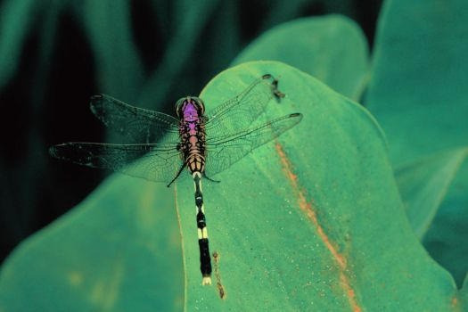 beautiful  color gradation  of dragonfly by rizkiprianto