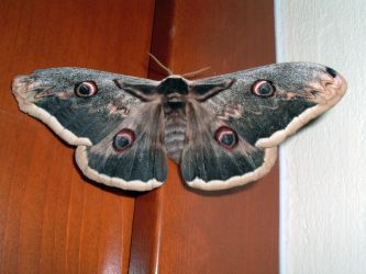 Moth by Arsenica-stock