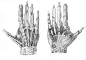 Muscles of the Hand by arvalis