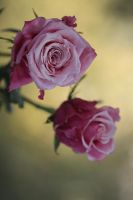Roses stock by aoao2