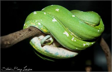Green snake - 1 by Stianbl
