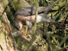 Eurasian Sparrowhawk II by TheRealThalion