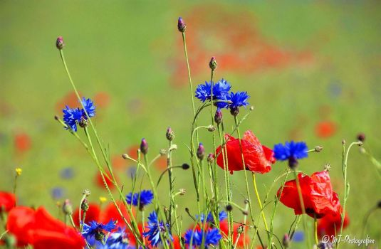 the awakening of summer flowers by MT-Photografien