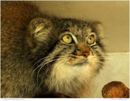 Pallas Cat by In-the-picture