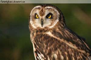 Short Eared Owl by FantasticFennec