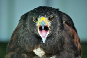 Harris Hawk 3 by OrkisPhotography