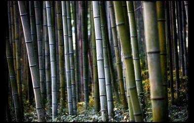 Bamboo Forest by billsabub