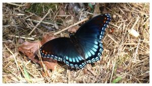 Red-spotted Purple by bensinn