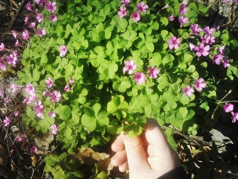 Clover Patch w/flowers by ChevelleRose