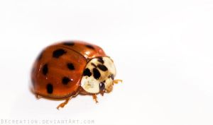 Coccinelle d'hiver by BKcore