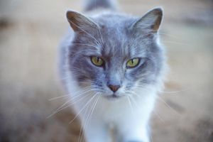 farm cat, Mildura. by thespook