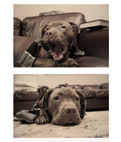 boo pit bull by monokee