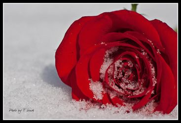 Red Queen's Cold Heart by tleach0608