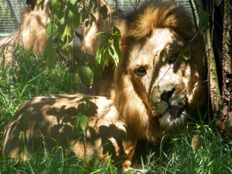 king of the jungle by mistyrose1097