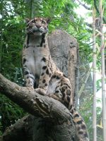 Clouded Leopard by KMCgeijyutsuka