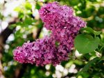 Lilacs 1 by out-on-a-limb