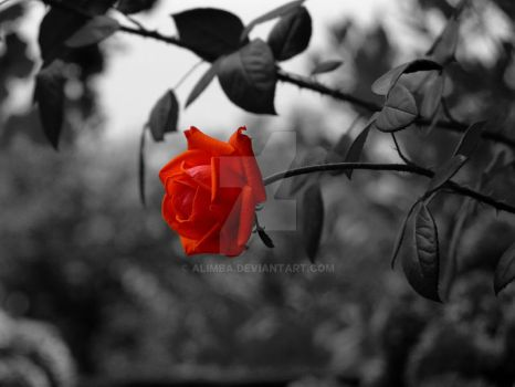 Red Rose by Alimba
