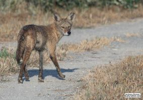 Coyote on the trail by jaffa-tamarin