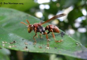 Paper Wasp by BreeSpawn