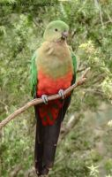 Female King Parrot II by BreeSpawn