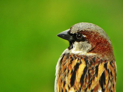 Portrait of a Sparrow by NeahsSomnium
